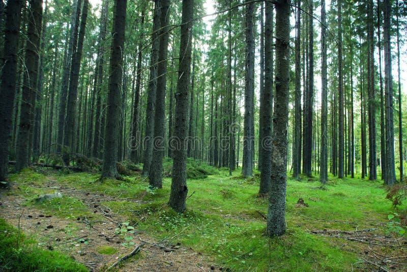 Lato w iglastym świerkowym lesie, gęstych drzewnych bagażnikach i zielonym mech, obrazy stock