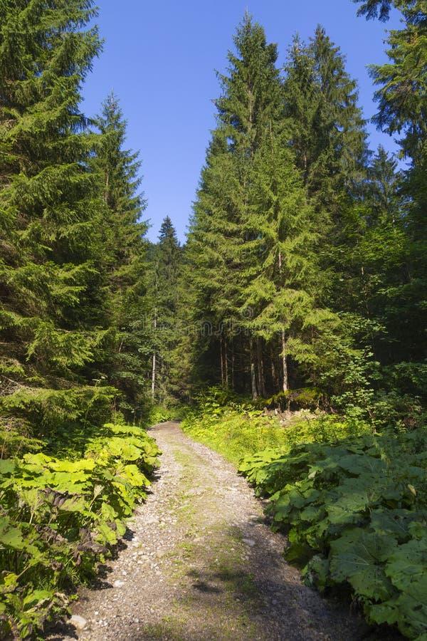 Lato w lasowym Sistani zdjęcia royalty free