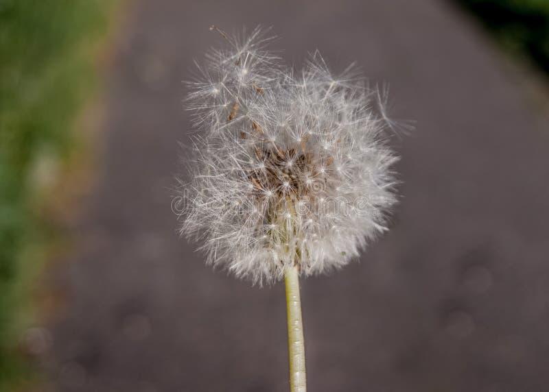 Lato wildflowers Biały dandelion już zaczyna latać wokoło na tle ziemia zdjęcie royalty free