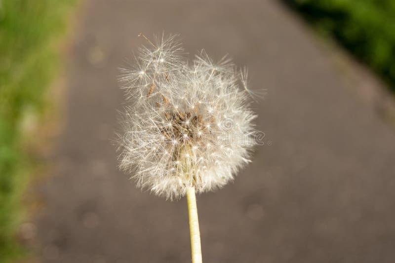 Lato wildflowers Biały dandelion już zaczyna latać wokoło na tle ziemia fotografia stock