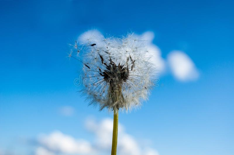 Lato wildflowers Biały dandelion już zaczyna latać wokoło przeciw niebieskiemu niebu z białymi chmurami zdjęcie royalty free