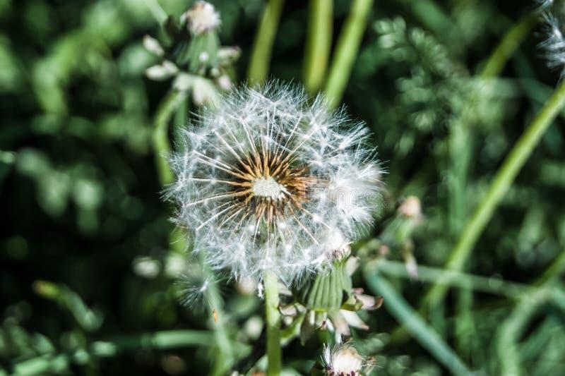 Lato wildflowers Biały dandelion już zaczyna latać wokoło przeciw tłu greenery obrazy royalty free