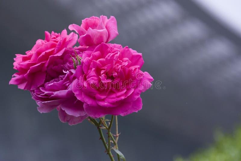 Lato wzrastał, czerwieni róża zdjęcie stock