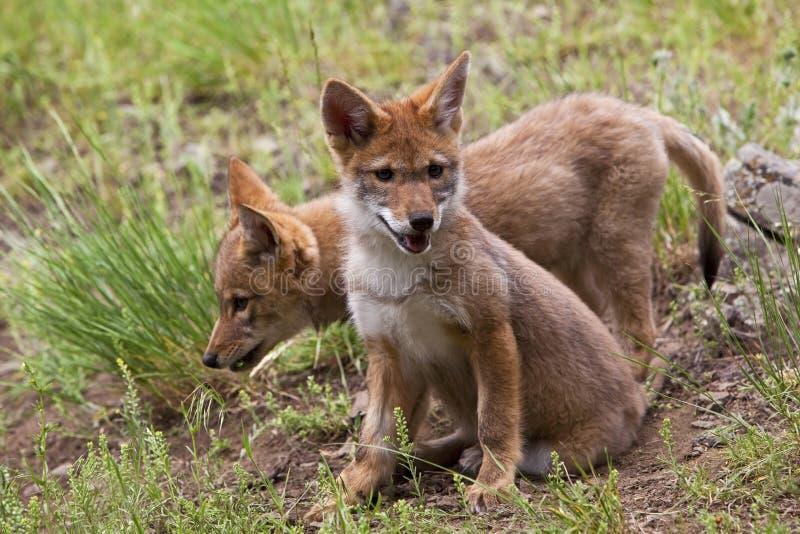 Latrans del Canis del pup del coyote dei pups del coyote immagini stock
