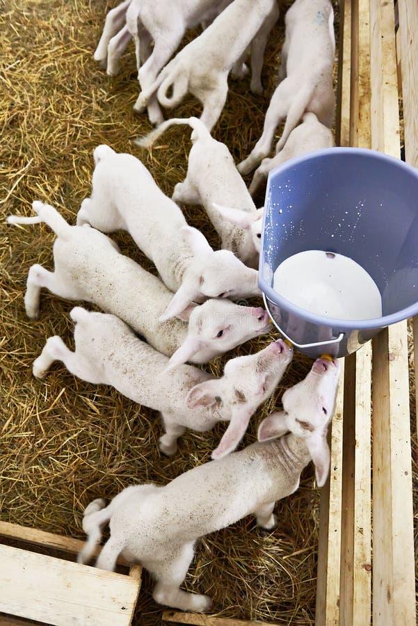 Latte alimentare degli agnelli dal secchio sull'azienda agricola fotografie stock libere da diritti