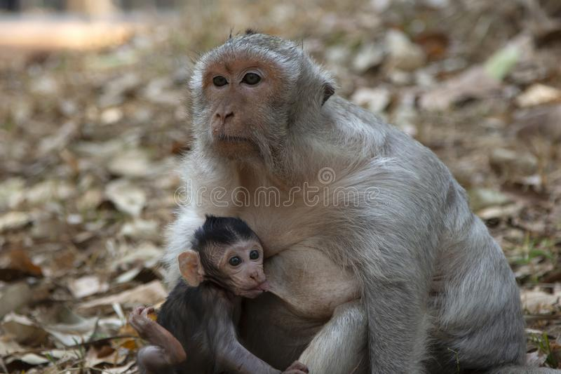 Latte alimentare del bambino del macaco della coda lunga da sua madre fotografia stock