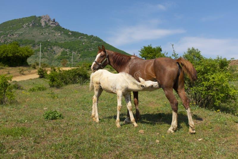Latte alimentare del puledro bianco dal suo cavallo della madre nel pascolo immagine stock