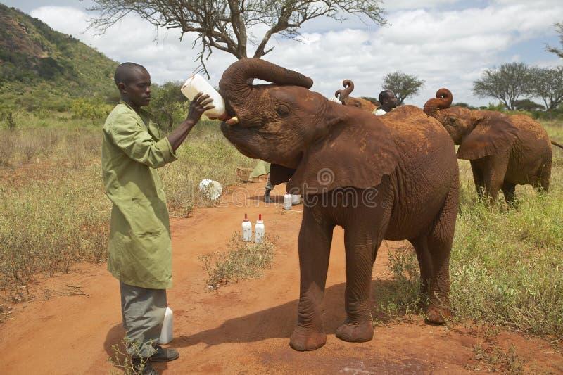 Latte d 39 alimentazione del custode dell 39 elefante africano - Elefante foglio di colore dell elefante ...