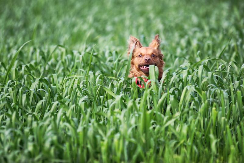 Latteo il cane fotografie stock
