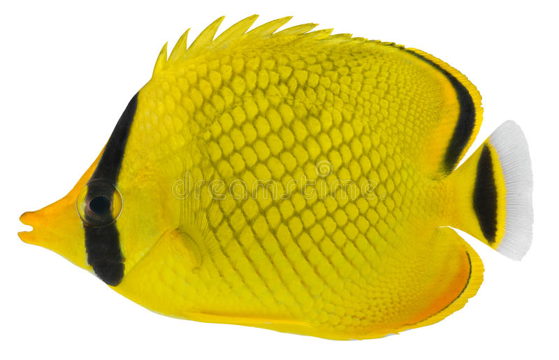 Latticed Butterfly fish. Chaetodon rafflesi stock images