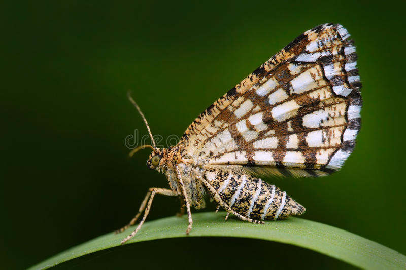 Latticed heath, Chiasmia clathrata, is a moth of the family Geometridae. Beautiful nigt butterfly sitting on the green grass leave.  stock photography