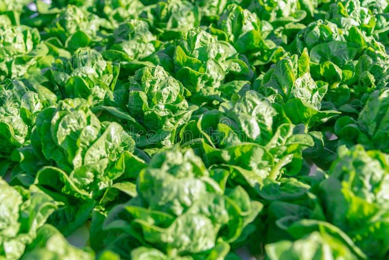 Lattuga idroponica delle verdure di insalata nella piantagione dell'azienda agricola del sistema di coltura idroponica fotografie stock libere da diritti