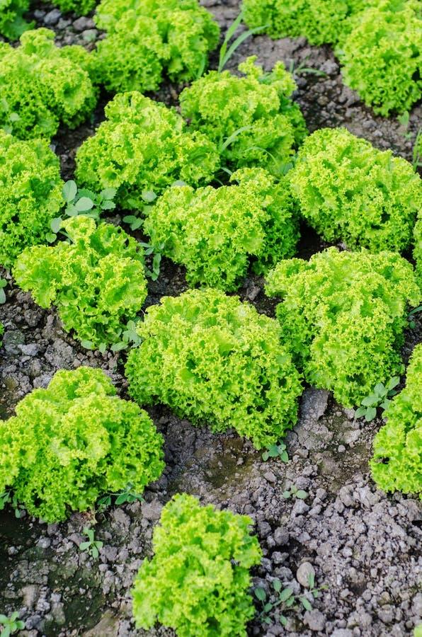Download Lattuga verde immagine stock. Immagine di agricoltura - 30831351