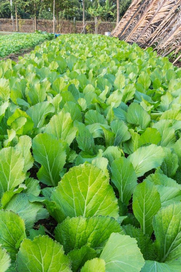Lattuga verde dei diagrammi agricoli fotografia stock