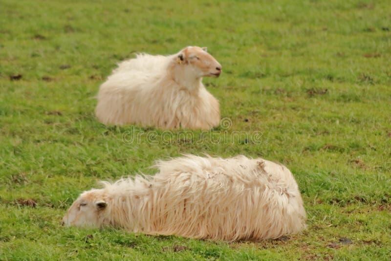 Latxas овец отдыхая в долине Baztan стоковые изображения