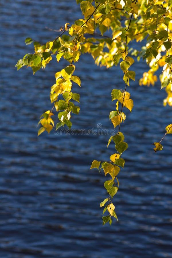 Laub einer Herbstbirke stockfotografie