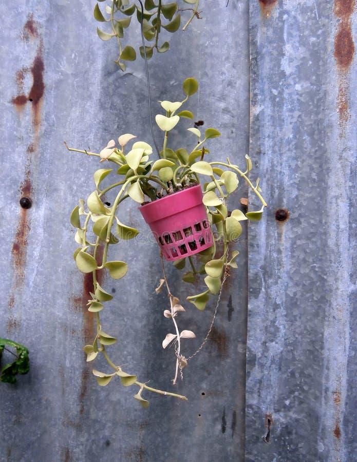 Laubanlage in den Töpfen auf rustikalem Hintergrund stockfotos