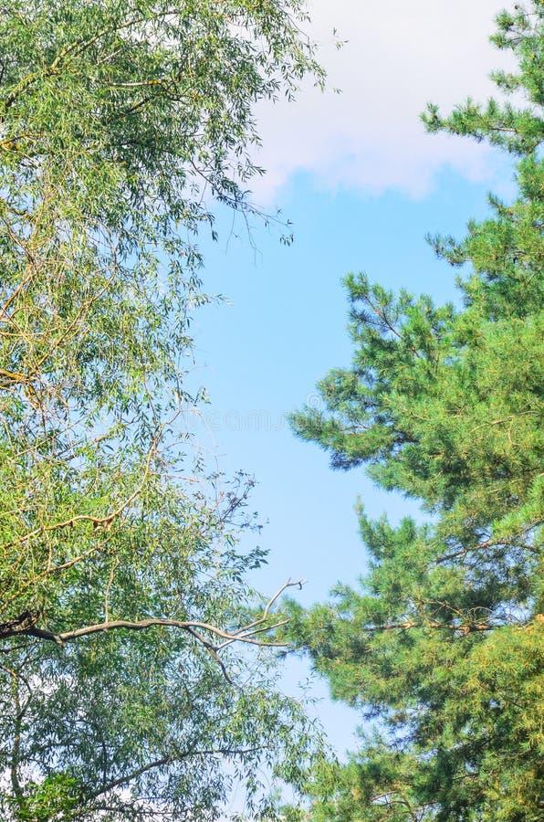 Laubwald und Koniferenwald die Grenze zwischen den Bäumen Blauer Himmel stockbild
