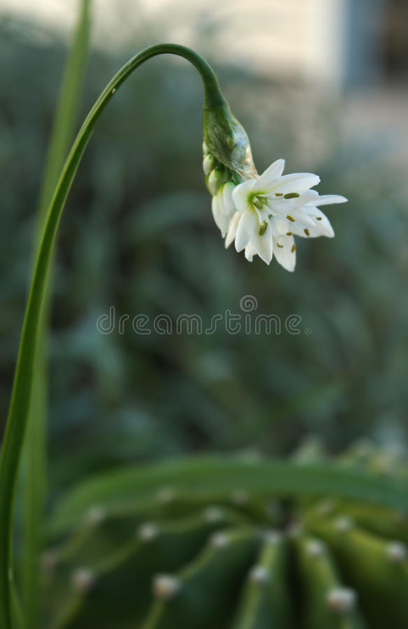 Lauch Ursinium-Blume lizenzfreie stockfotos