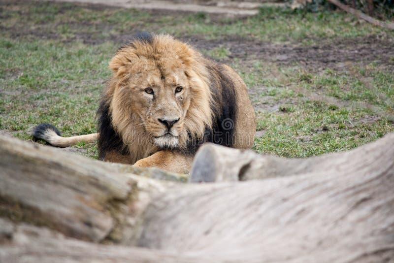 Lauernder Löwe
