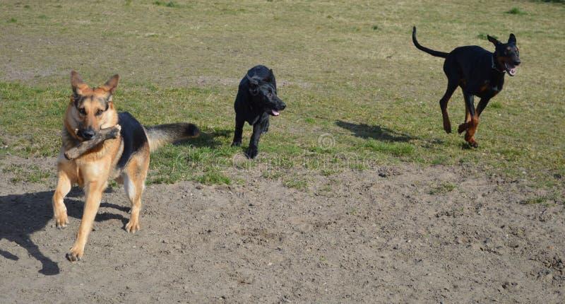 Laufen des Dobermanns und zwei Schäferhundhunde lizenzfreies stockfoto