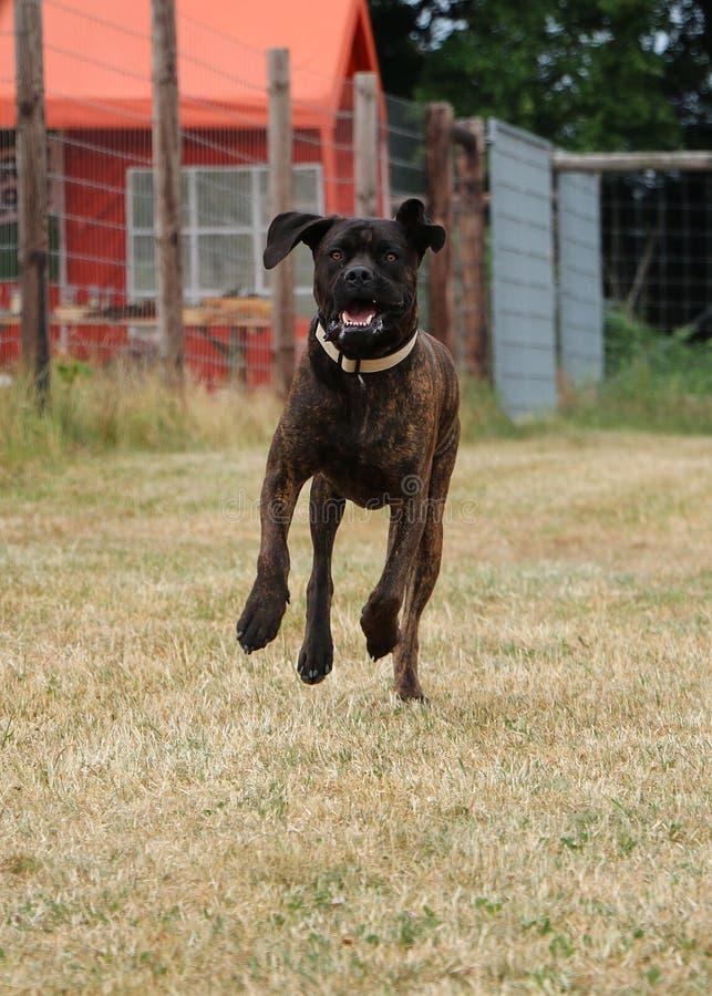 Laufende amerikanische Bulldogge lizenzfreies stockfoto