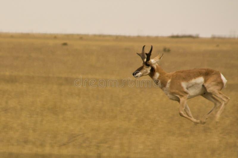 Laufende Antilope stockfotografie