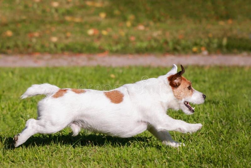 Laufende Außenseite Jack Russell Terriers stockfoto