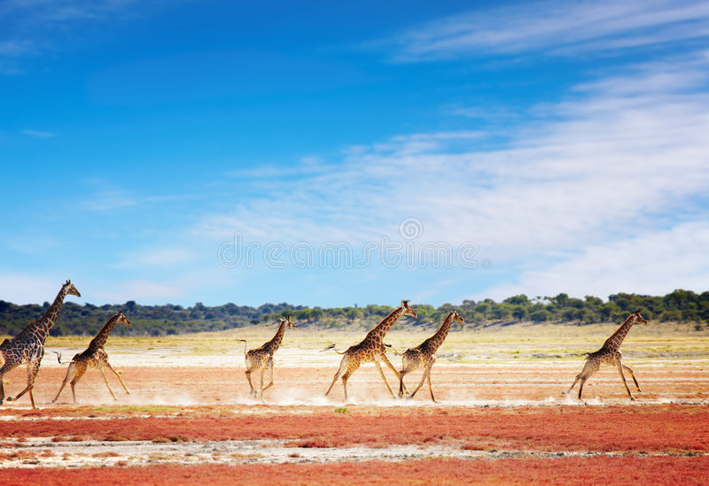 Laufende Giraffen stockbilder