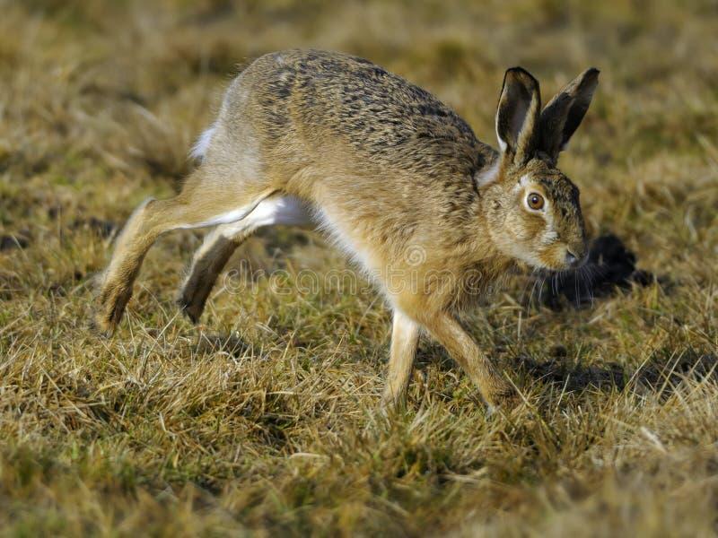 Laufende Hasen stockfoto
