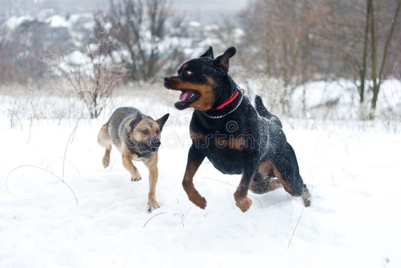Laufende Hund-rottweiler und kleiner Hund stockbild