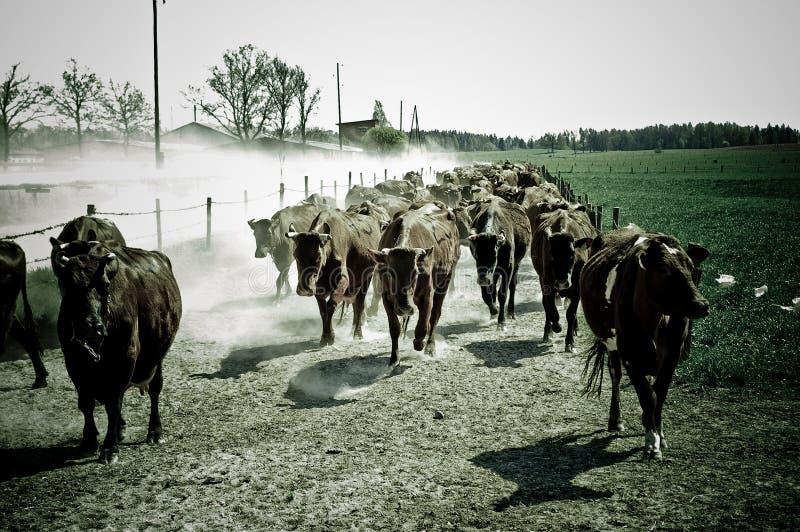 Laufende Kühe stockfotografie