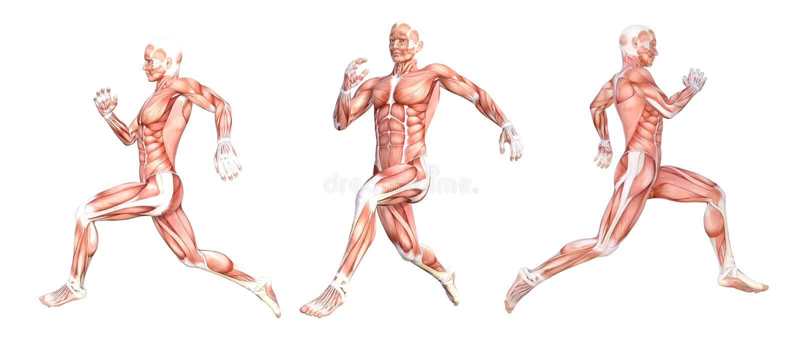 Laufende Muskeln des anatomischen Mannes vektor abbildung