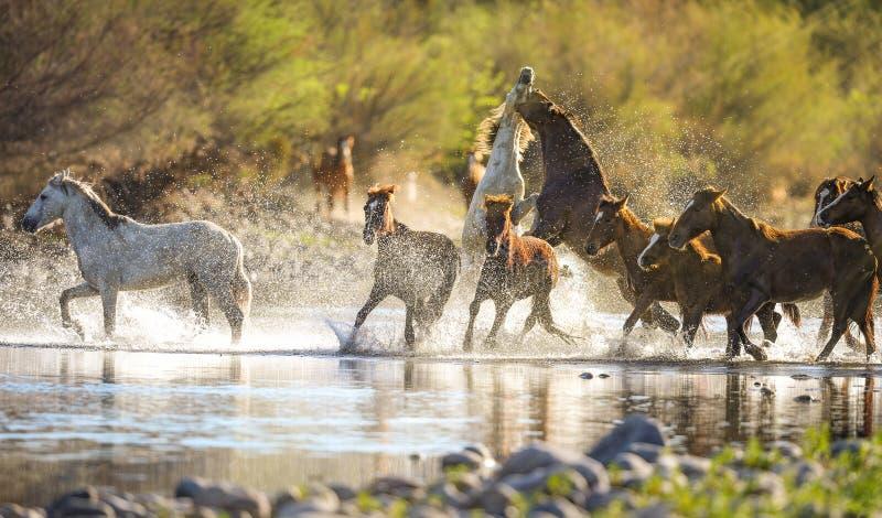 Laufende Mustangs in Salt River, Arizona stockbilder