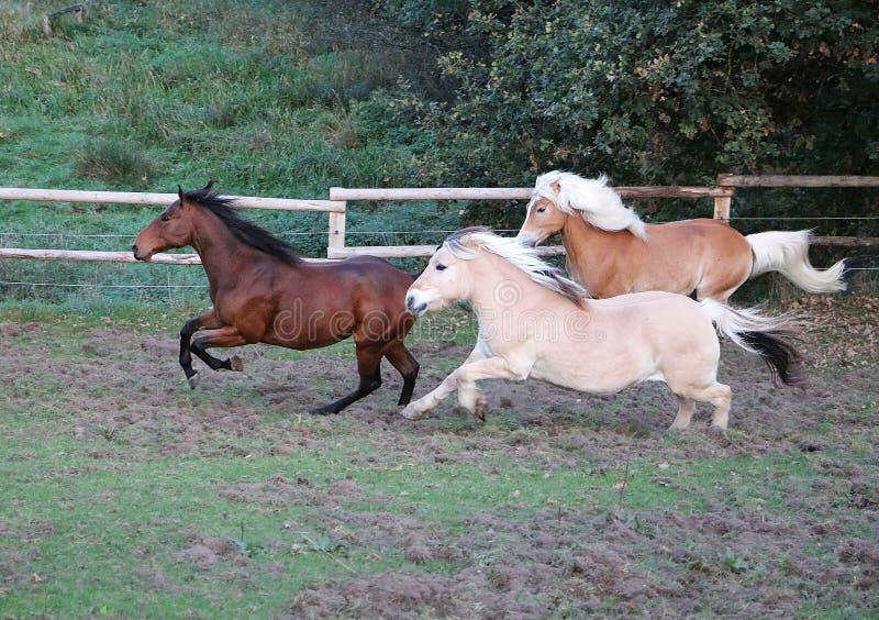 Laufende Pferde auf der Koppel stockbild