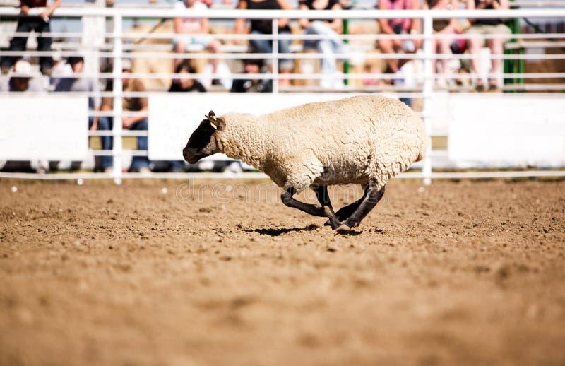 Laufende Schafe lizenzfreie stockbilder