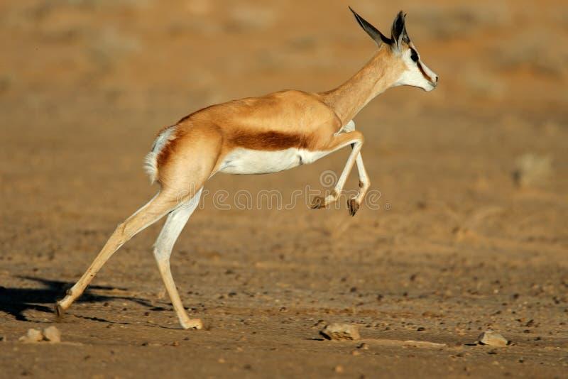 Laufende Springbockantilope lizenzfreie stockfotografie