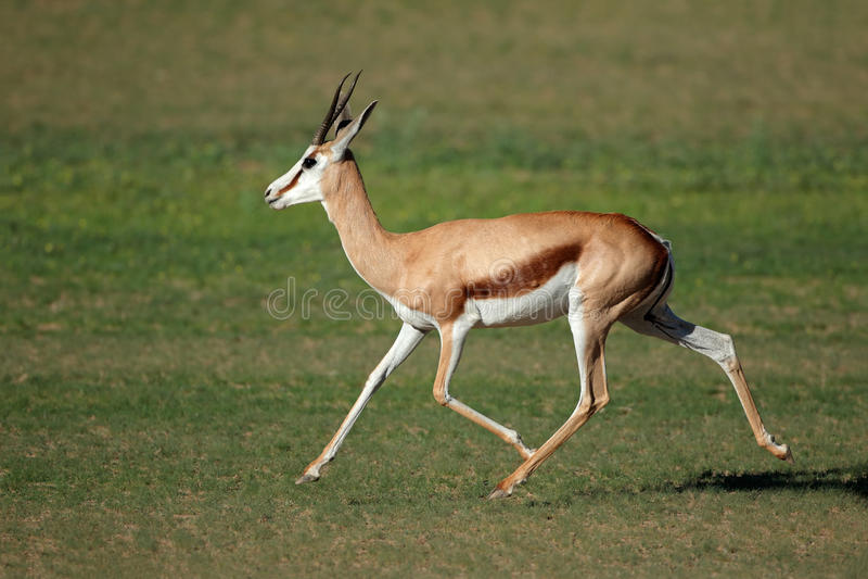 Laufende Springbockantilope lizenzfreies stockbild