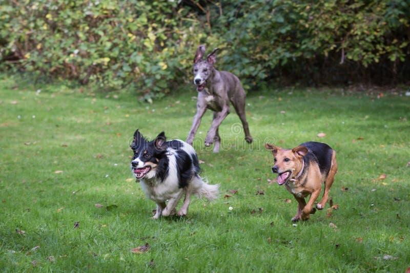 Laufende und spielende Hunde stockfotografie