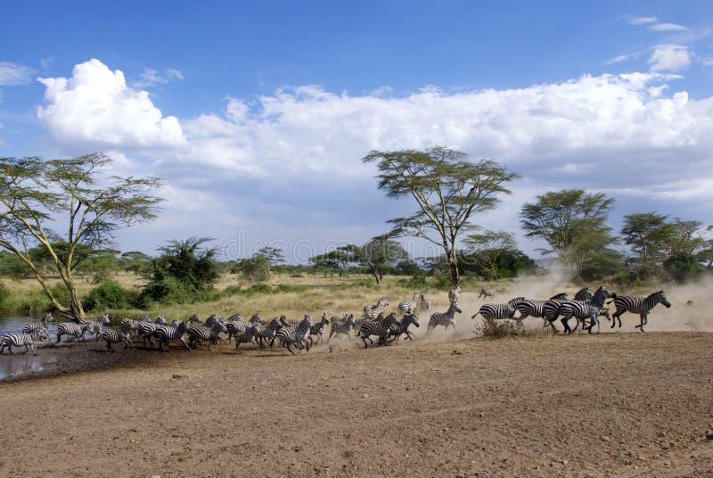 Laufende Zebras mit Staubwolke stockbilder