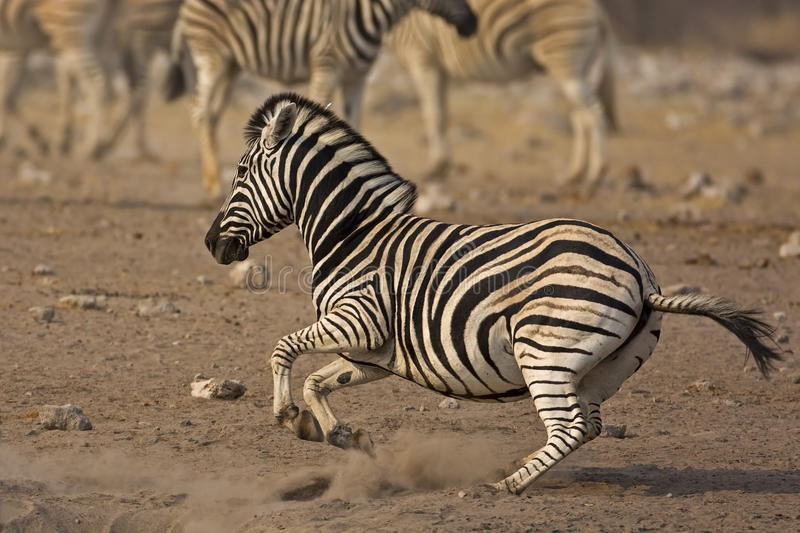 Laufender Burchells Zebra lizenzfreie stockbilder