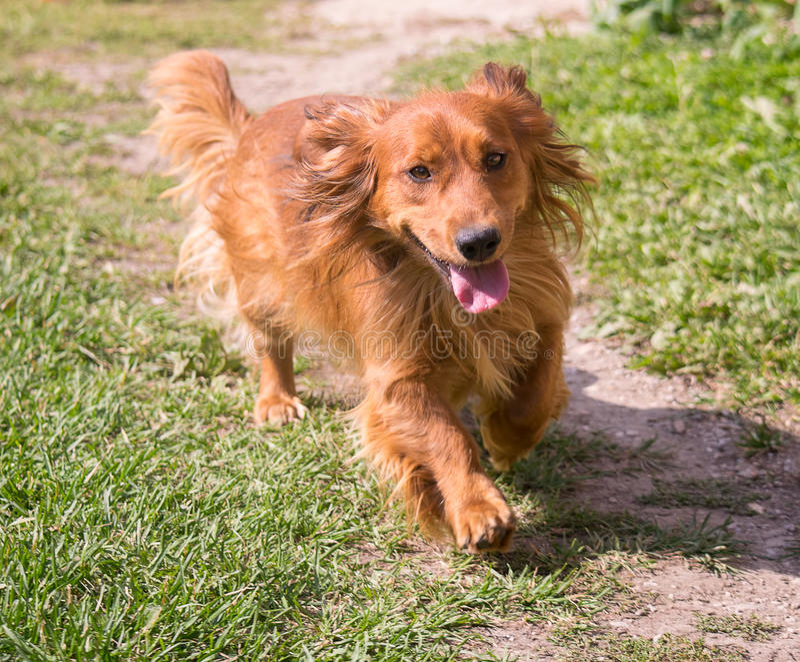 Laufender Dachshundhund stockbilder