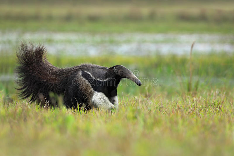 Laufender Großer Ameisenbär, Myrmecophaga tridactyla, Tier mit ane Klotznase des langen Schwanzes, Pantanal, Brasilien lizenzfreies stockfoto