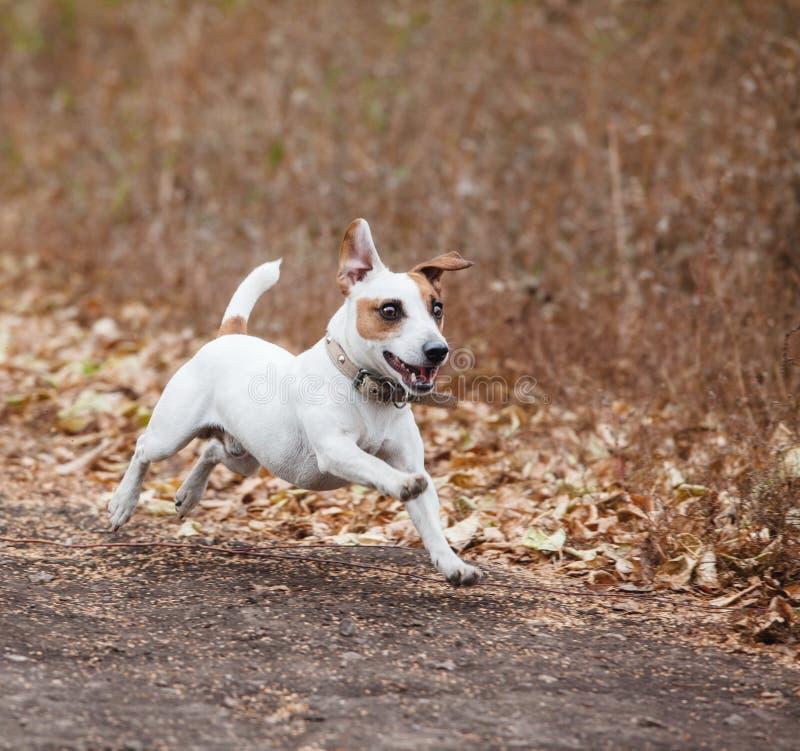 Laufender Hund am Herbst stockfotografie