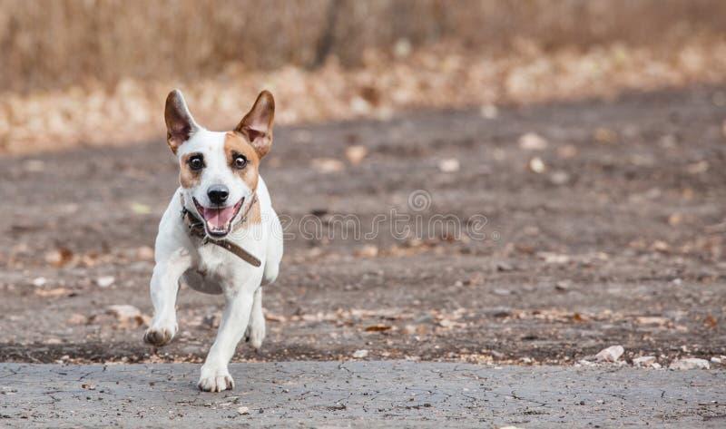 Laufender Hund am Herbst stockfoto
