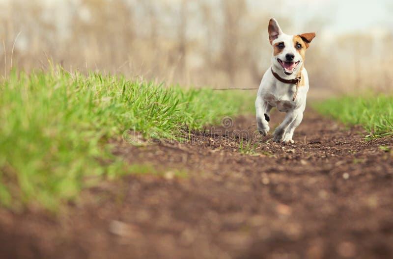 Laufender Hund am Sommer lizenzfreie stockfotos