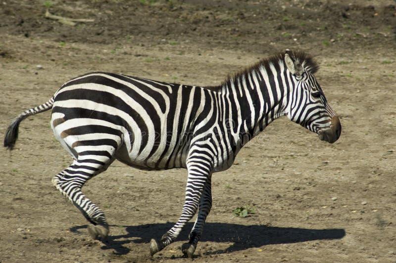 Laufender Zebra stockfoto