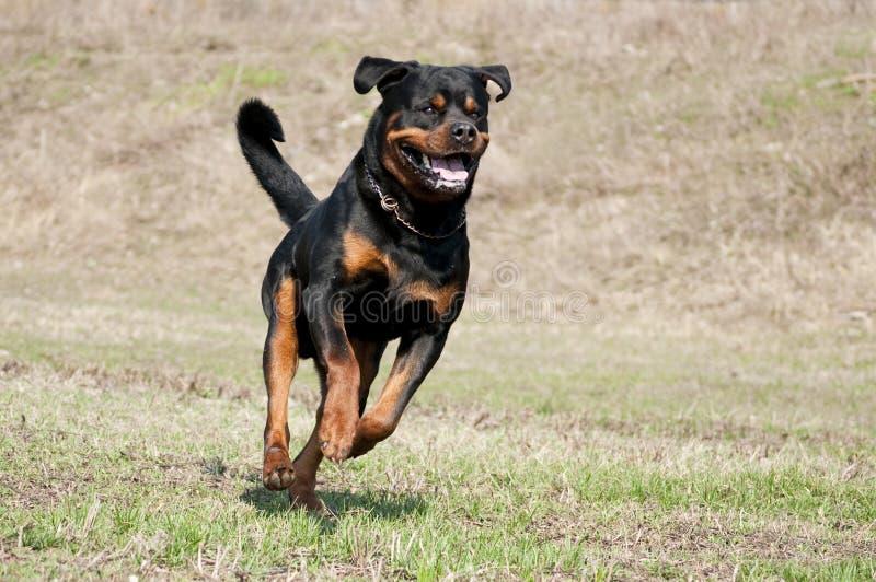 Laufendes aktives schwarzes und braunes Hunderasse rotweiler stockbilder