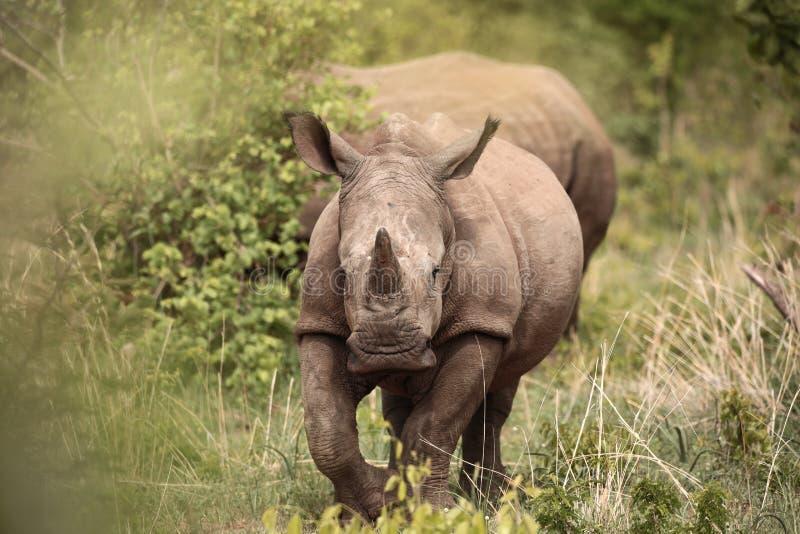Laufendes Nashorn lizenzfreies stockbild