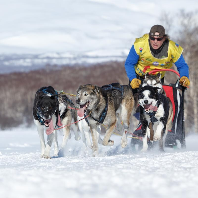 Laufendes Schlittenrettungshundestaffel Kamchatka-musher Semashkin Andrey Kamchatka-Schlitten-Hunderennen Beringia lizenzfreie stockfotografie